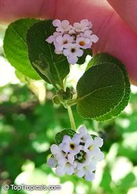 Lantana sp., Lantana  Click to see full-size image