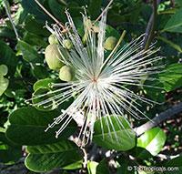 Cynophalla flexuosa, Morisonia flexuosa, Capparis flexuosa, Limber Caper, Bayleaf Capertree  Click to see full-size image