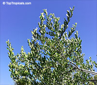 Zanthoxylum fagara, Wild Lime, Colima, Lime Prickly Ash  Click to see full-size image