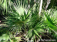Thrinax radiata, Thrinax floridana, Florida Thatch Palm  Click to see full-size image