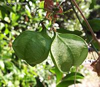 Cardiospermum corindum, Balloon Vine, Love in a Puff, Heartseed Vine  Click to see full-size image