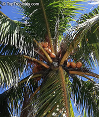 Cocos nucifera, Coconut Palm, Coco-do-baia  Click to see full-size image