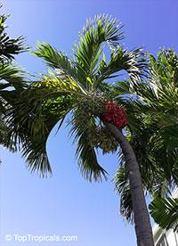 Adonidia merrillii, Veitchia merrilli, Christmas Palm  Click to see full-size image