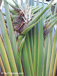 Ravenala madagascariensis, Travelers Palm  Click to see full-size image