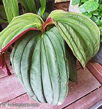 Medinilla var. Gregori Hambali, Purple Medinilla   Click to see full-size image