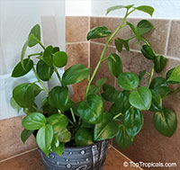 Peperomia x scandens Emerald Girl  Click to see full-size image