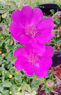 Leuenbergeria portulacifolia, Pereskia portulacifolia, Pink Rose Cactus  Click to see full-size image