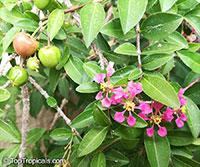 Malpighia punicifolia Nana, Barbados-Cherry, Acerola, Dwarf Pink Mound, Malphigia, Cerejeira  Click to see full-size image