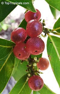 Glycosmis pentaphylla, Limonia pentaphylla, Ash sheora, Orangeberry, Rum Berry, Gin Berry  Click to see full-size image