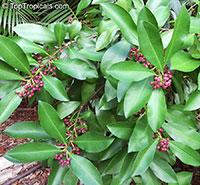 Ardisia elliptica, Shoebutton Ardisia  Click to see full-size image