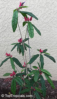 Pavonia multiflora, Triplochlamys multifora, Brazilian candles  Click to see full-size image