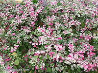 Breynia disticha, Breynia nivosa, Snow Bush, Hawaiian-Leaf Flower, Sweet Pea Bush, Calico Plant, Snow on the Mountain  Click to see full-size image