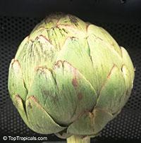 Cynara cardunculus, Artichoke  Click to see full-size image