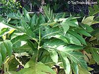 Artocarpus altilis, Artocarpus communis, Breadfruit  Click to see full-size image