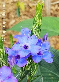 Eranthemum pulchellum, Eranthemum nervosum, Blue sage, Blue eranthemum, Lead Flower  Click to see full-size image