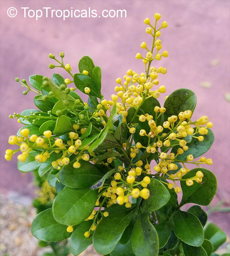 Aglaia odorata, Chinese Perfume Plant, Chinese Rice Flower