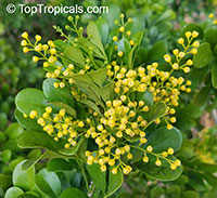 Aglaia odorata, Chinese Perfume Plant, Chinese Rice Flower, Mock Lemon  Click to see full-size image