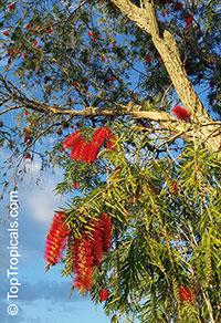 Callistemon sp., Bottlebrush  Click to see full-size image