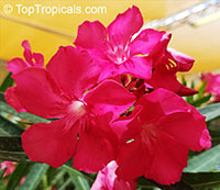 Nerium oleander Emile Sahut (Deep Red)  Click to see full-size image