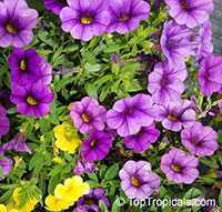 Calibrachoa sp., Million Bells, Trailing Petunia  Click to see full-size image