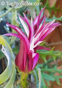 Cryptocereus (Selenicereus) anthonyanus - Zig-Zag CactusClick to see full-size image