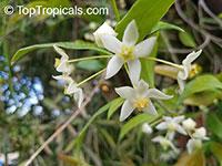 Hoya odorata, Wax plant  Click to see full-size image