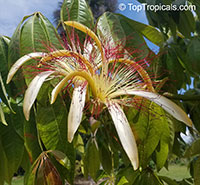 Pachira aquatica, Malabar Chesnut, Guiana Chestnut, Provision Tree, Money Tree   Click to see full-size image