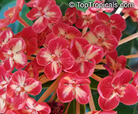 Ixora chinensis, Jungle flame, Needle flower