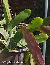 Epiphyllum phyllanthus, Epiphyllum hookeri, Epiphyllum strictum, Epiphyllum stenopetalum, Climbing Cactus, Hooker's Orchid Cactus  Click to see full-size image