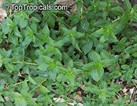 Spermacoce alata, Spermacoce latifolia, Winged False Buttonweed, False Ginseng, Oval Leaf False Buttonweed  Click to see full-size image