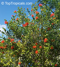 Combretum constrictum , Thailand Powderpuff, Ball of Fire  Click to see full-size image