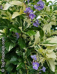 Duranta variegata - Variegated Sky Flower  Click to see full-size image