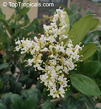 Ligustrum sp., Privet  Click to see full-size image