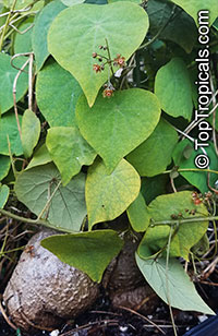 Stephania perrieri, Climbing Rock Plant  Click to see full-size image
