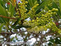 Elaeocarpus sp., Bead Tree, Fringe Bells, Fairy Petticoats  Click to see full-size image