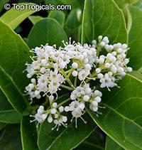 Viburnum odoratissimum - Sweet viburnum  Click to see full-size image