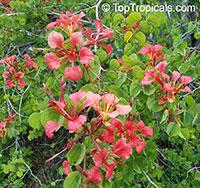Bauhinia galpinii, Bauhinia punctata, Pride of De Kaap, Nasturtium Bauhinia  Click to see full-size image