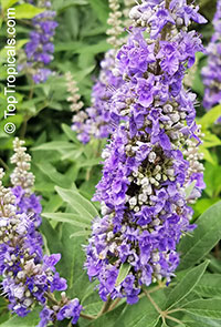 Vitex agnus castus - Chaste Shoal Creek   Click to see full-size image
