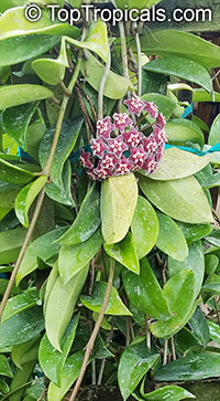 Hoya pubicalyx, Harlequin Wax Plant  Click to see full-size image