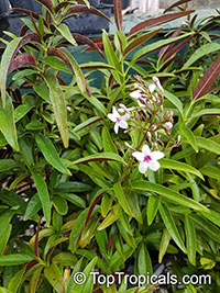 Pseuderanthemum seticalyx, Shooting star  Click to see full-size image