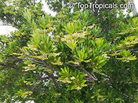 Elaeocarpus decipiens, Japanese Blueberry Tree  Click to see full-size image