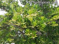 Elaeocarpus decipiens, Japanese Blueberry Tree  Click to see full-size image