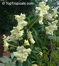 Brunfelsia gigantea, Lady of the Night  Click to see full-size image