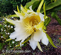 Hylocereus sp., Pitaya, Pitahaya, Dragon Fruit, Strawberry Pear  Click to see full-size image