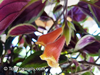 Nematanthus 'Bijou', Gold Fish, Guppy Plant  Click to see full-size image