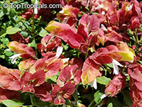 Justicia brandegeana, Beloperone guttata, Mexican Shrimp Plant, Shrimp Plant  Click to see full-size image