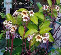 Strophanthus preussii, Medusa-Flower, Poison Arrow Vine, Spider Tresses, Poison Dart Vine  Click to see full-size image