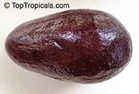 Persea americana - Avocado Mexicola Grande, Grafted  Click to see full-size image