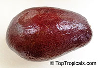 Persea americana - Avocado Thomson Red, Grafted