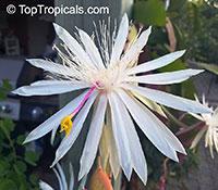 Epiphyllum hookeri, Epiphyllum strictum, Epiphyllum stenopetalum, Epiphyllum phyllanthus, Climbing Cactus, Hooker's Orchid Cactus  Click to see full-size image